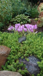 overnight, autumn crocus appears